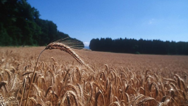 Wheat-field-cropped